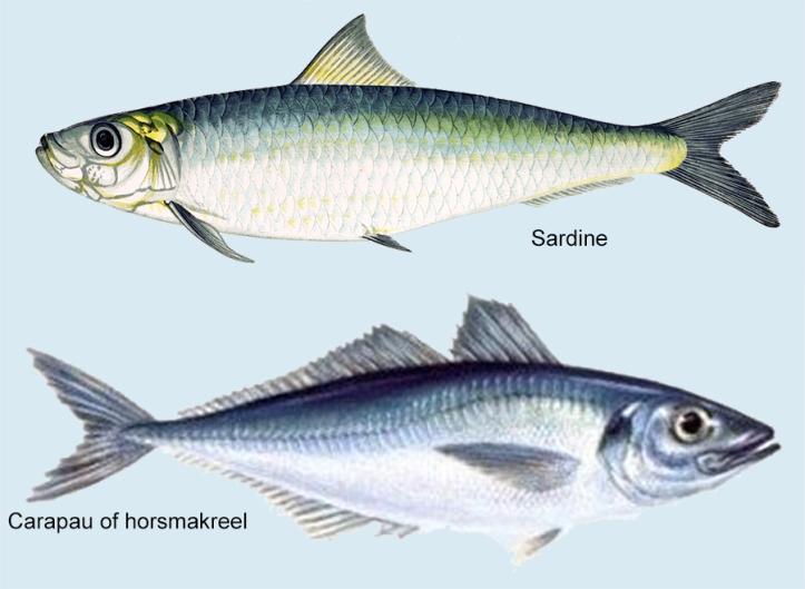 Plaatje van zowel de sardine met 1 rugvin en blauw-groene rug en de carapau of horsmakreel met 2 stekelige rugvinnen en zilveren rug.